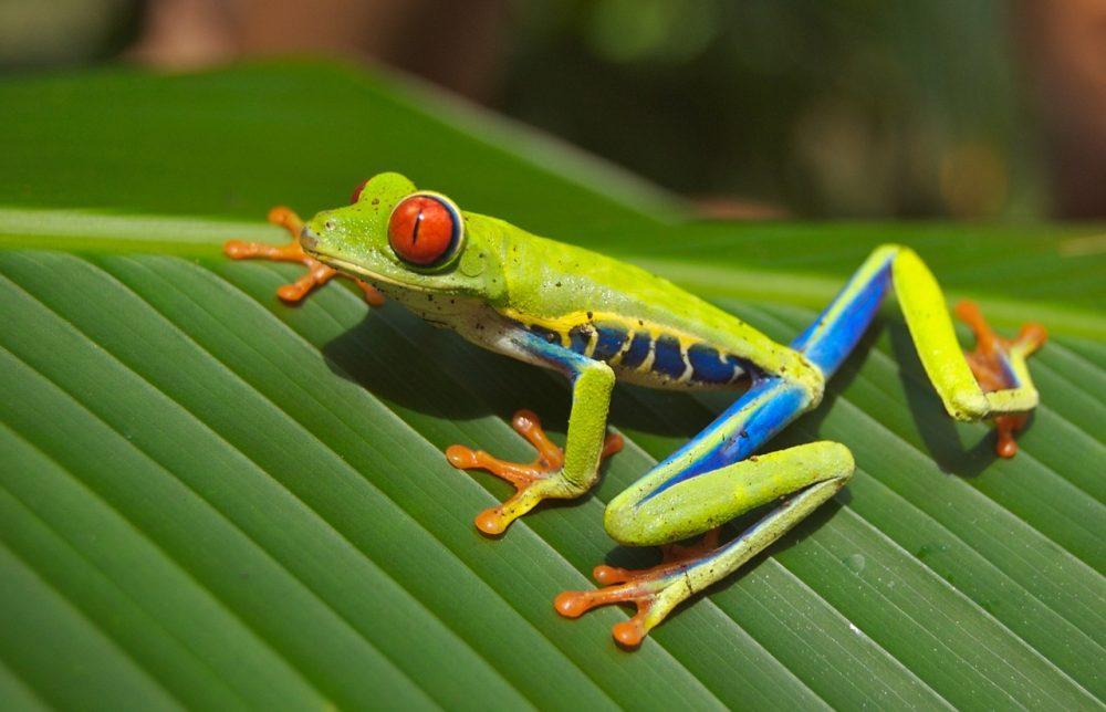 Escape travel _ Costa Rica _ tree frog